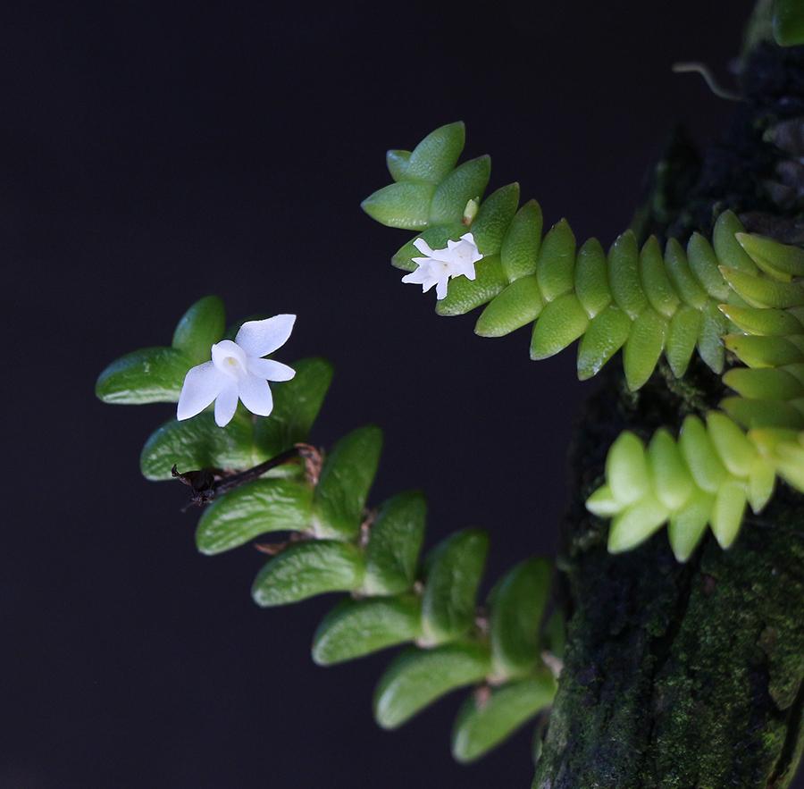 二列武夷兰Angraecum.distichum
