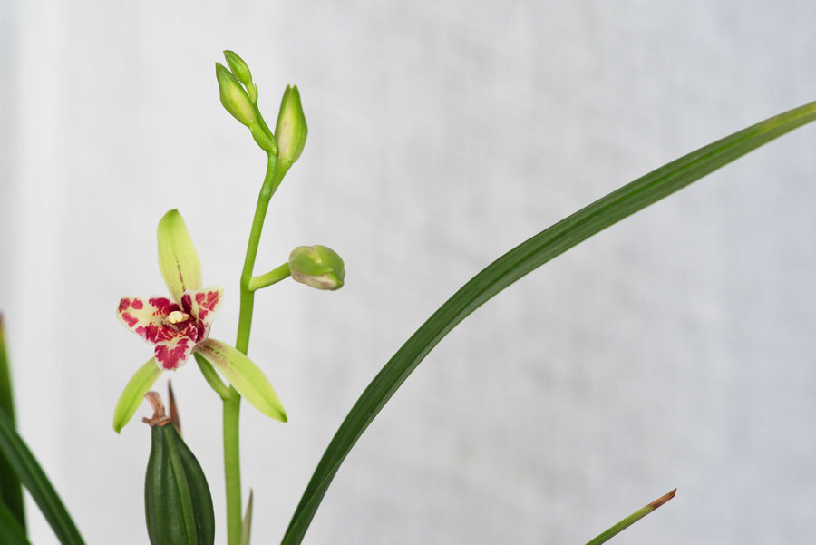 建兰吹吹蝶/峨眉三星Cym.ensifolium'Chui Chui Die'