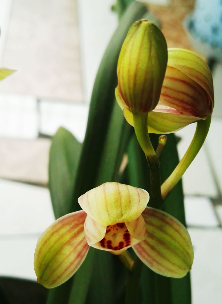 建兰君荷Cym.ensifolium'Jun He'