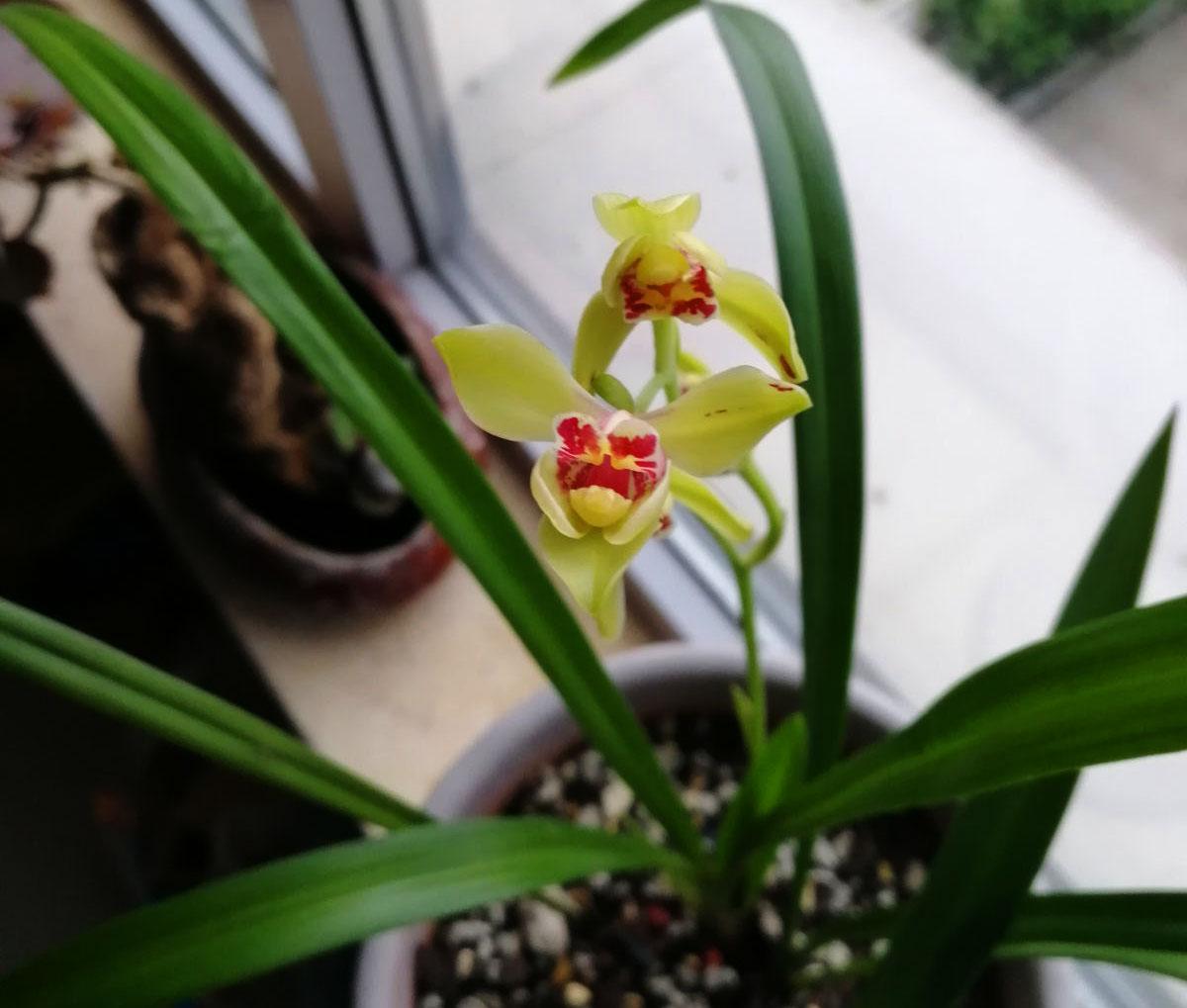 建兰夏皇梅Cym.ensifolium'Xia Huang Mei'