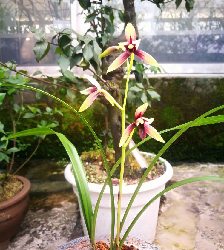 建兰峨眉晨光/赤诚Cym.ensifolium'E Mei Chen Guang'