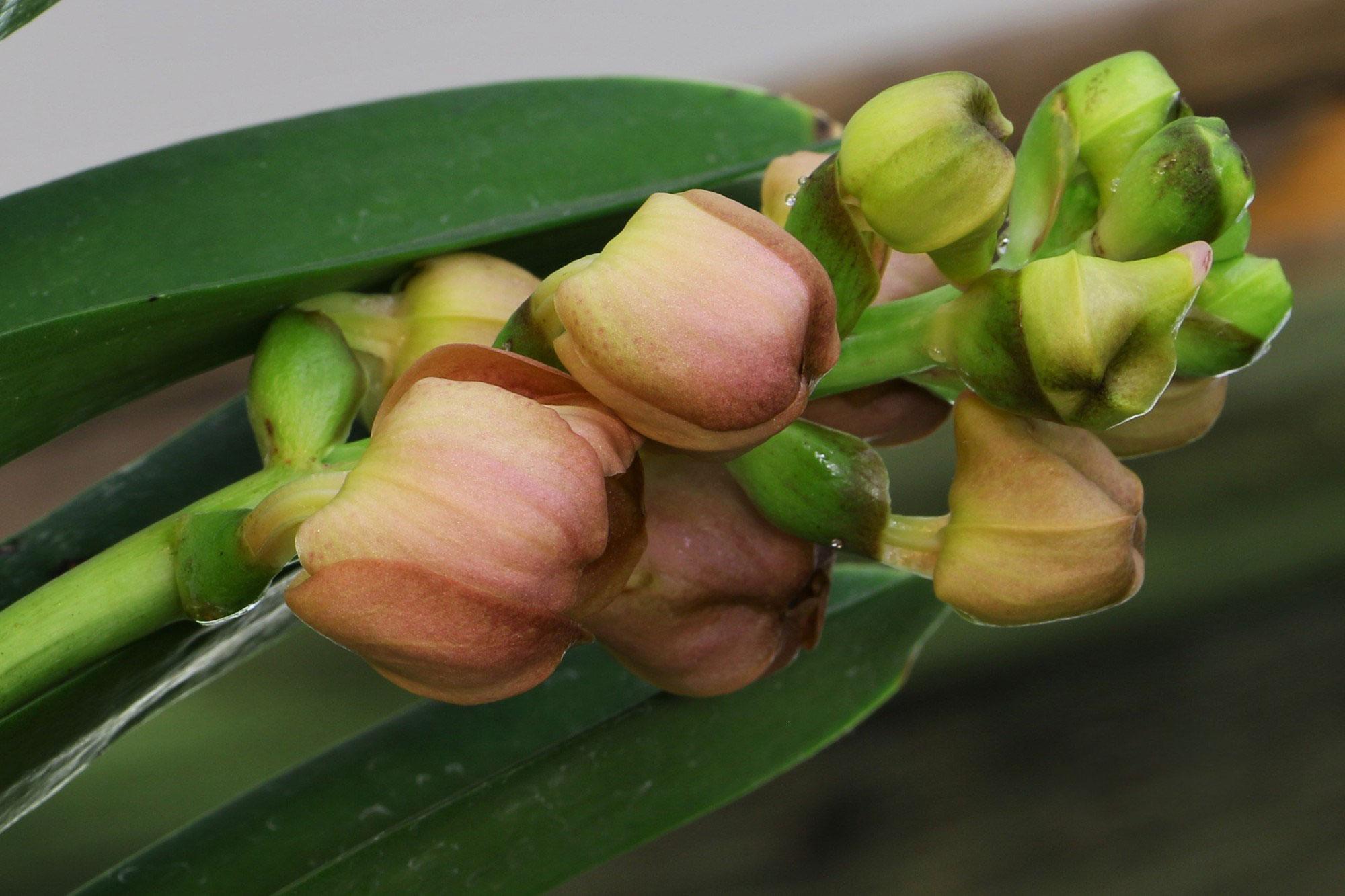 千代兰属Ascocenda(Ascda.)