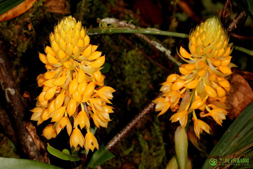 美丽虾脊兰Calanthe pulchra(Blume)Lindl.
