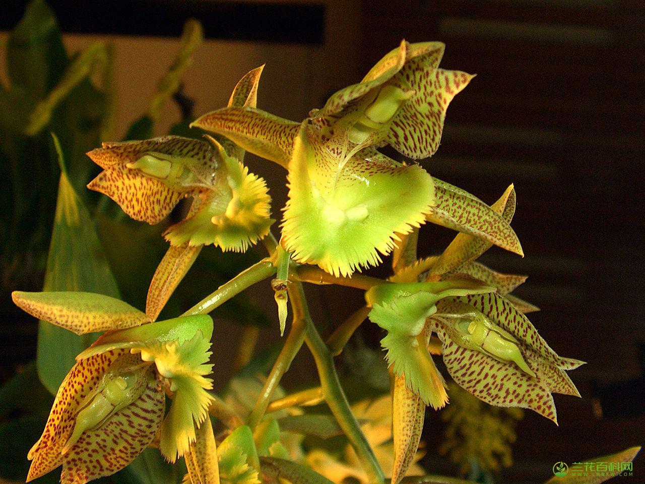 睫毛龙须兰Catasetum fimbriatum图片及特征