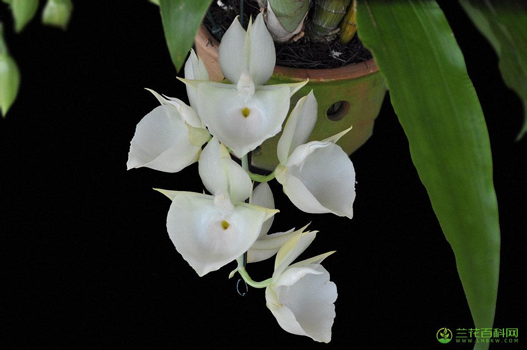 委内瑞拉龙须兰Catasetum pileatum图片及特征