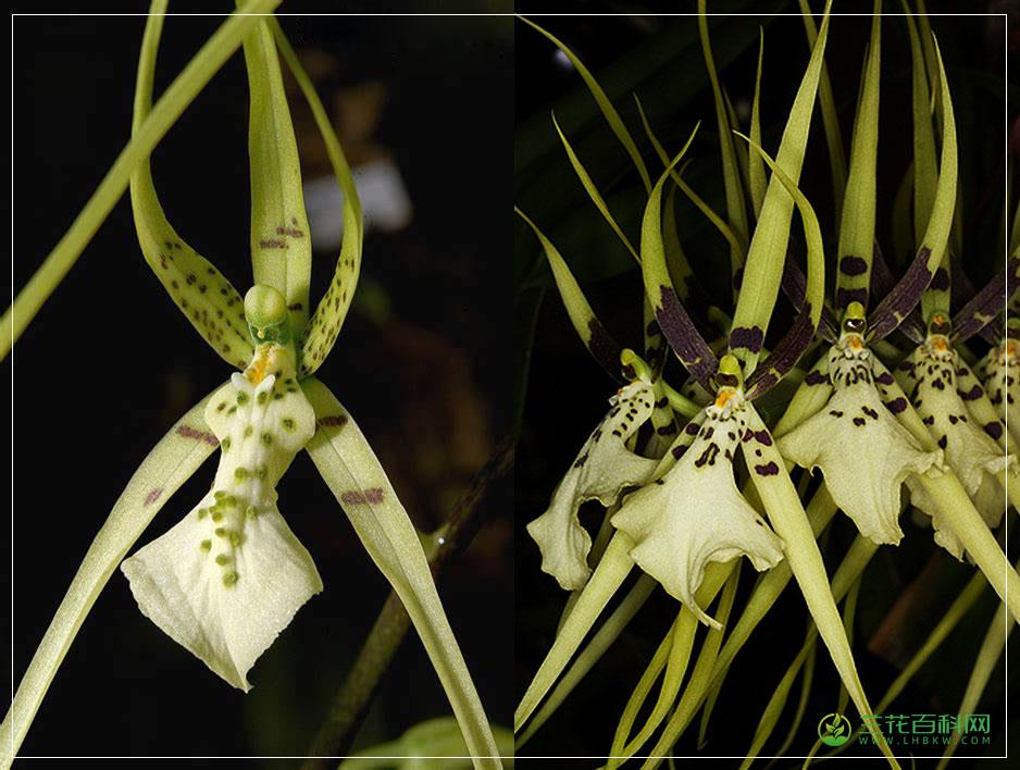 多疣长萼兰Brassia verrucosa