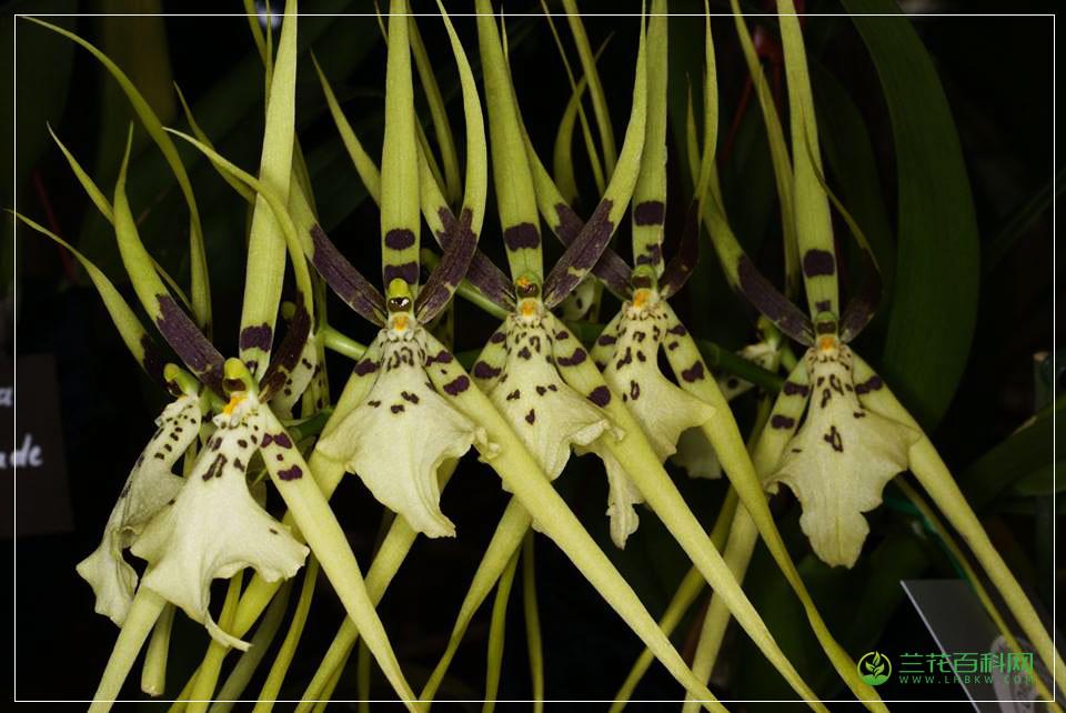 帝王长萼兰Brassia Rex'Sasaki'