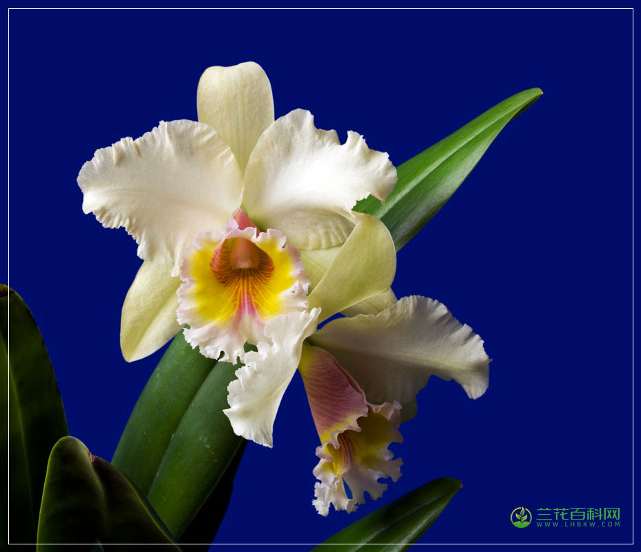 Brassolaeliocattleya(Blc.)属
