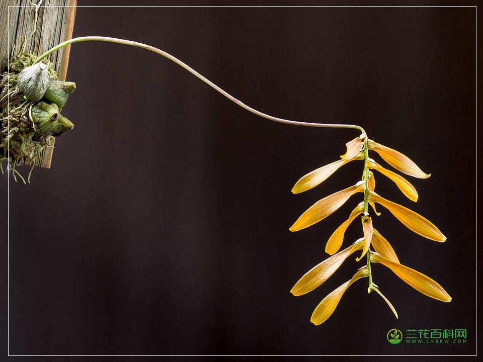 石豆兰属Bulbophyllum