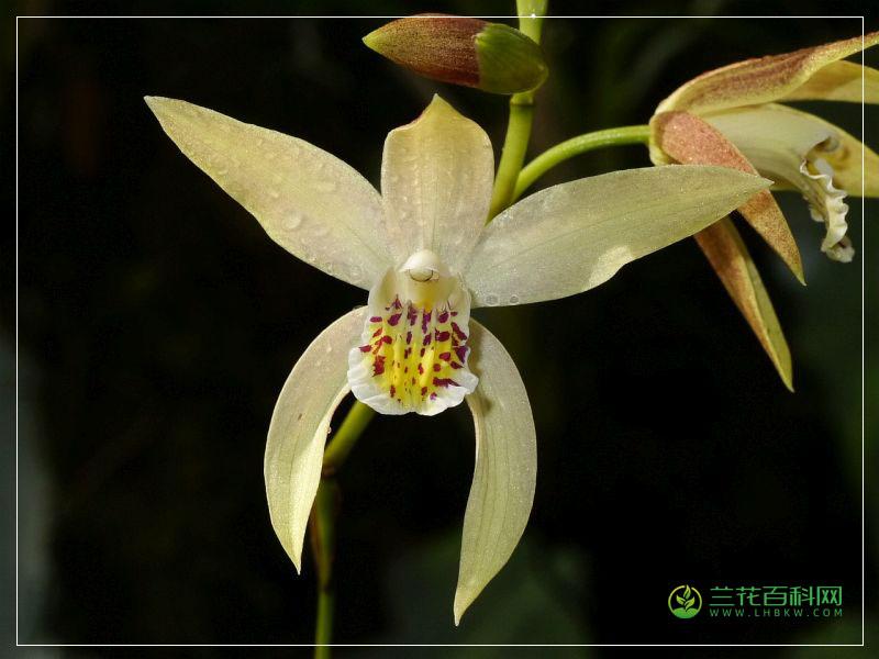 黄花白芨Bletilla orchracea