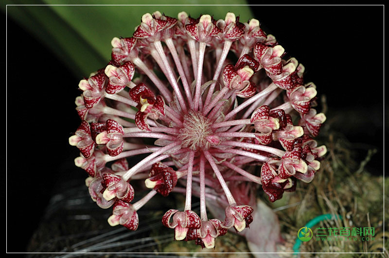 柏氏石豆兰Bulbophyllum beccarii