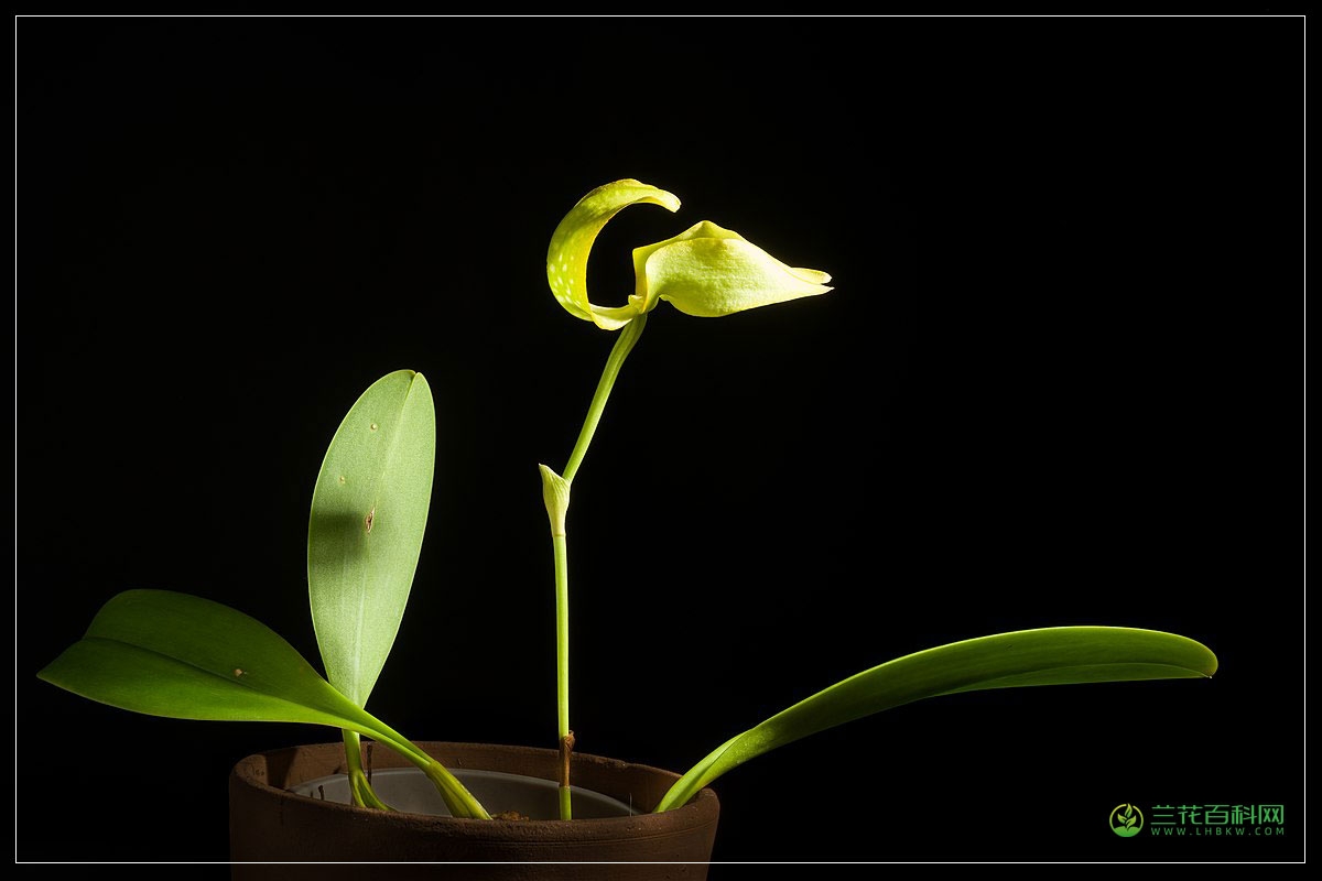大花石豆兰Bulbophyllum grandiflorum