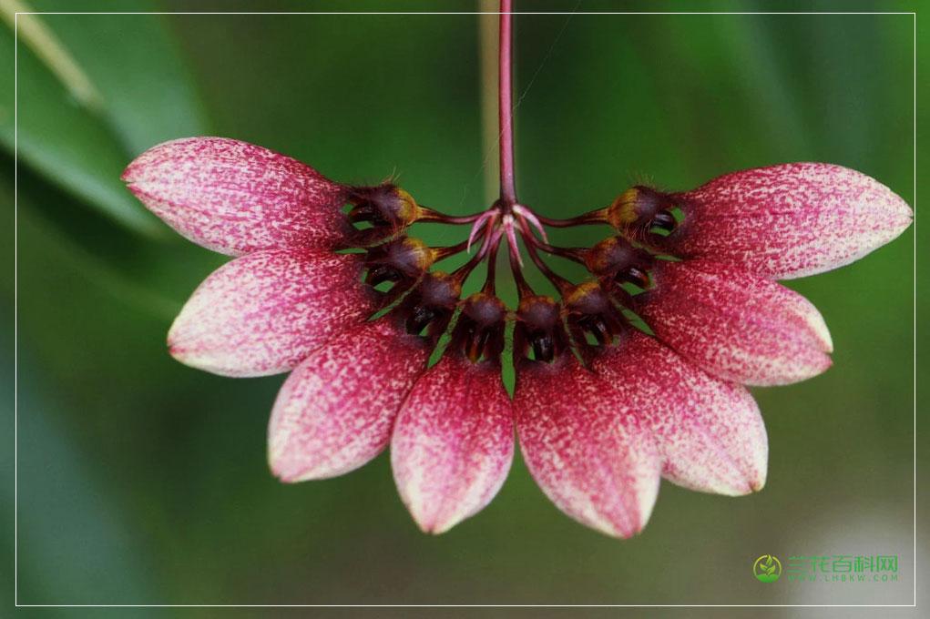 整洁卷瓣兰Bulbophyllum lepidum