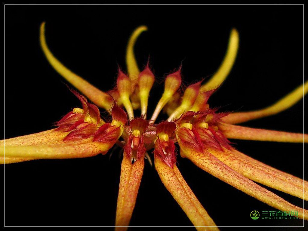 马氏石豆兰Bulbophyllum makoyanum