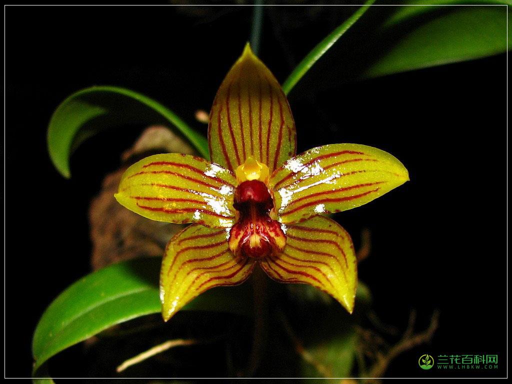 滇南石豆兰Bulbophyllum Psittacoglossum