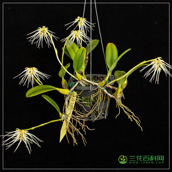 尾萼卷瓣兰Bulbophyllum caudatum