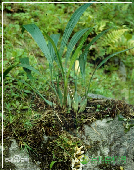 蜂腰兰属Bulleyia