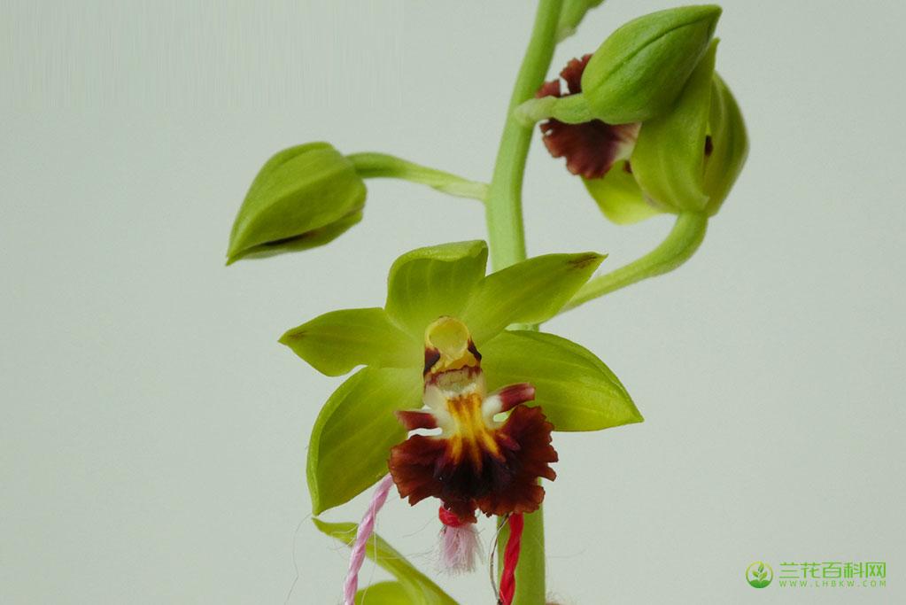 三棱虾脊兰Calanthe tricarinata