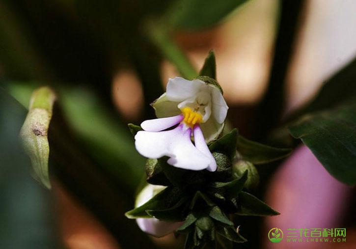 泽泻虾脊兰Calanthe alismatifolia Lindl.