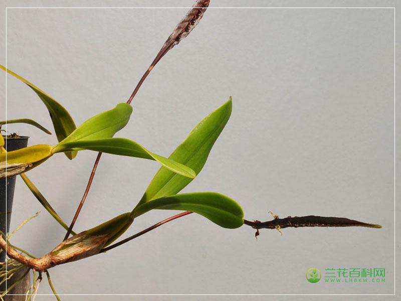 马克西姆石豆兰Bulbophyllum maximum
