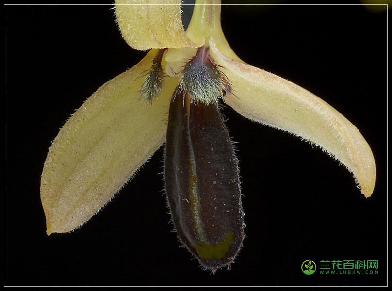 钩梗石豆兰Bulbophyllum nigrescens