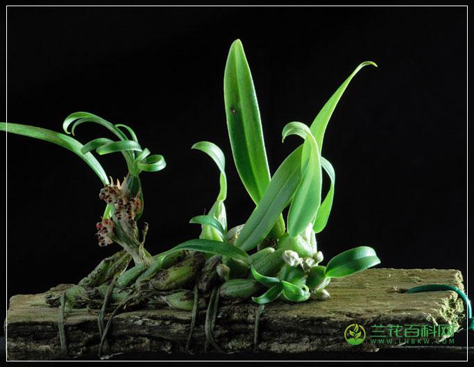 环唇石豆兰Bulbophyllum corallinum