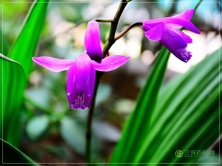 小白芨Bletilla formosana