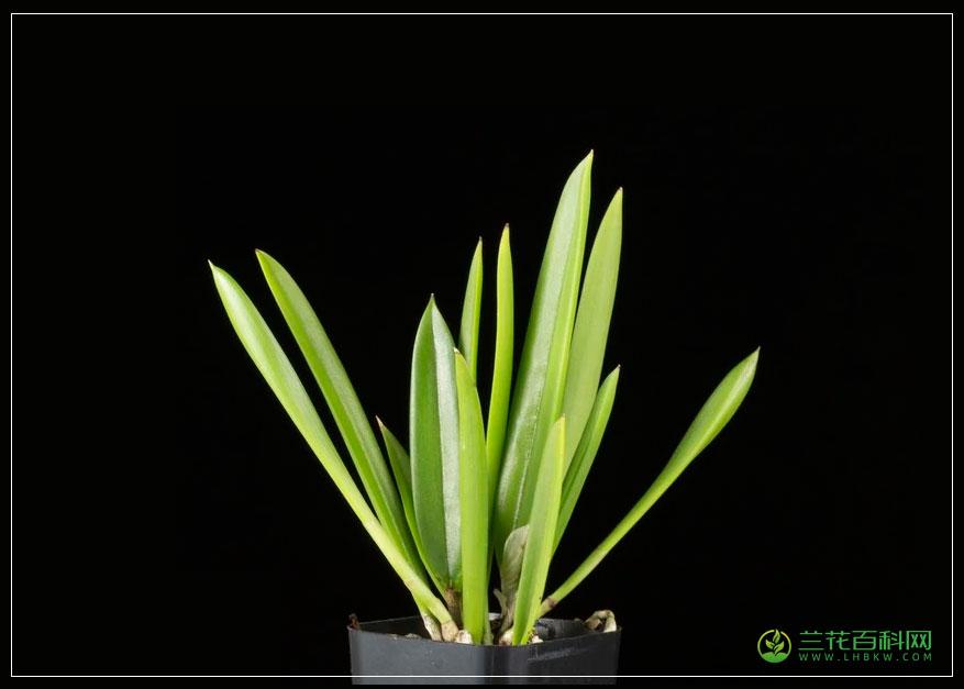 波东兰Broughtonia domingensis