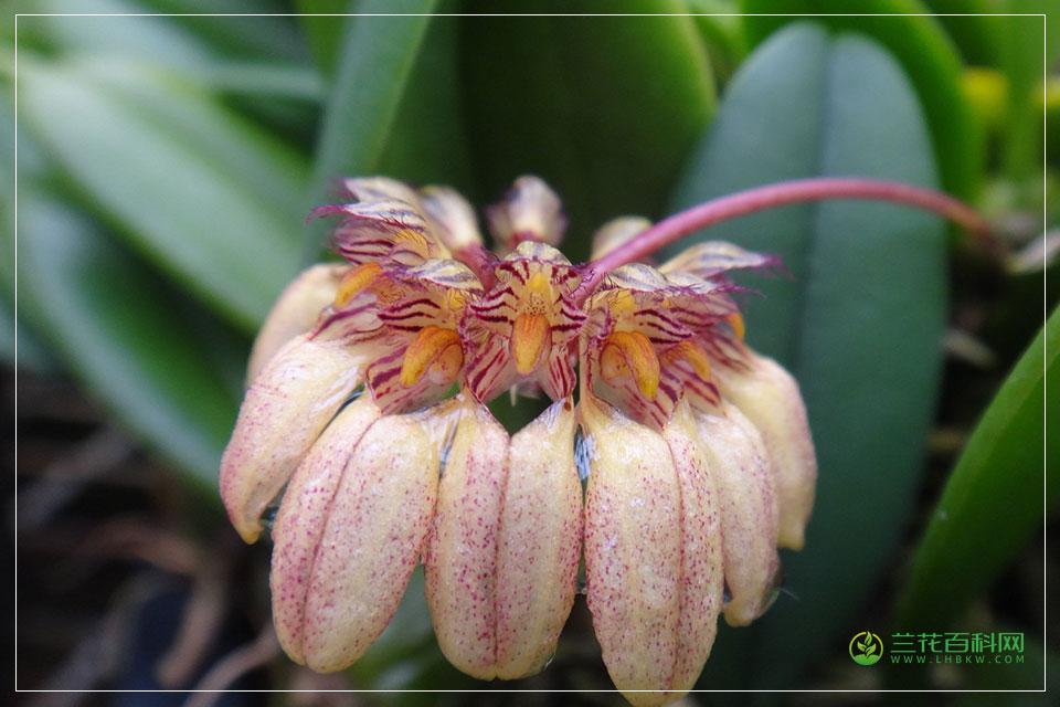 金色石豆兰Bulbophyllum auratum