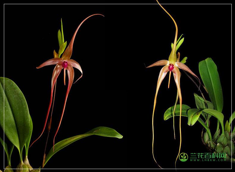 棘唇石豆兰Bulbophyllum echinolabium
