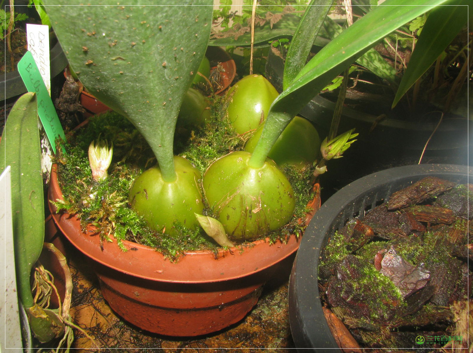 画斑石豆兰Bulbophyllum picturatum