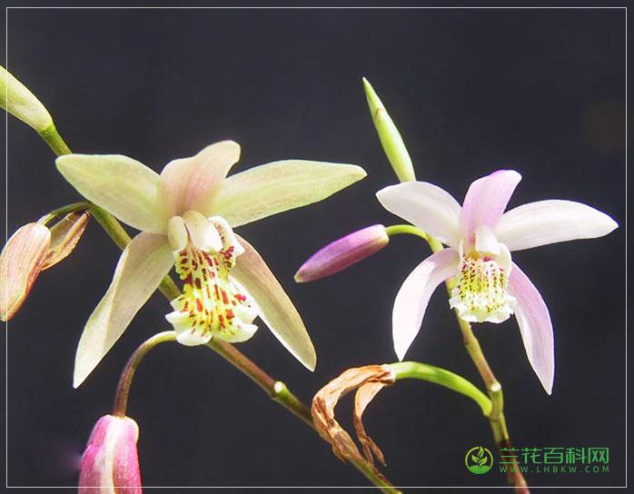 华白芨Bletilla sinensis