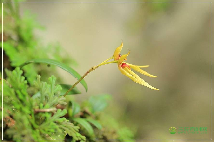 毛药卷瓣兰Bulbophyllum omerandrum