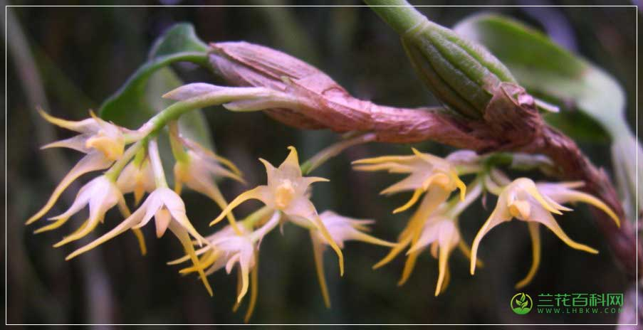 茎花石豆兰Bulbophyllum cauliflorum
