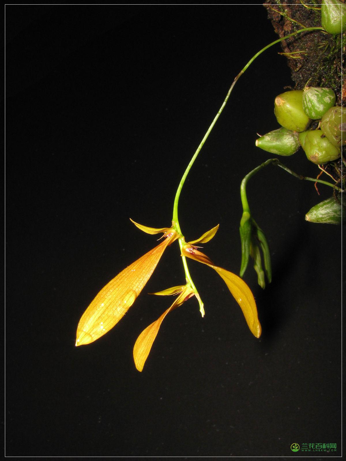 白花卷瓣兰Bulbophyllum khaoyaiense