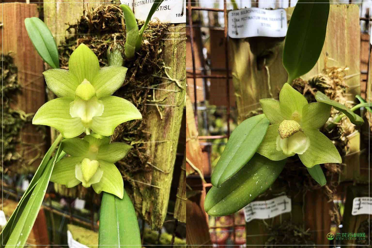 长足石豆兰Bulbophyllum pectinatum
