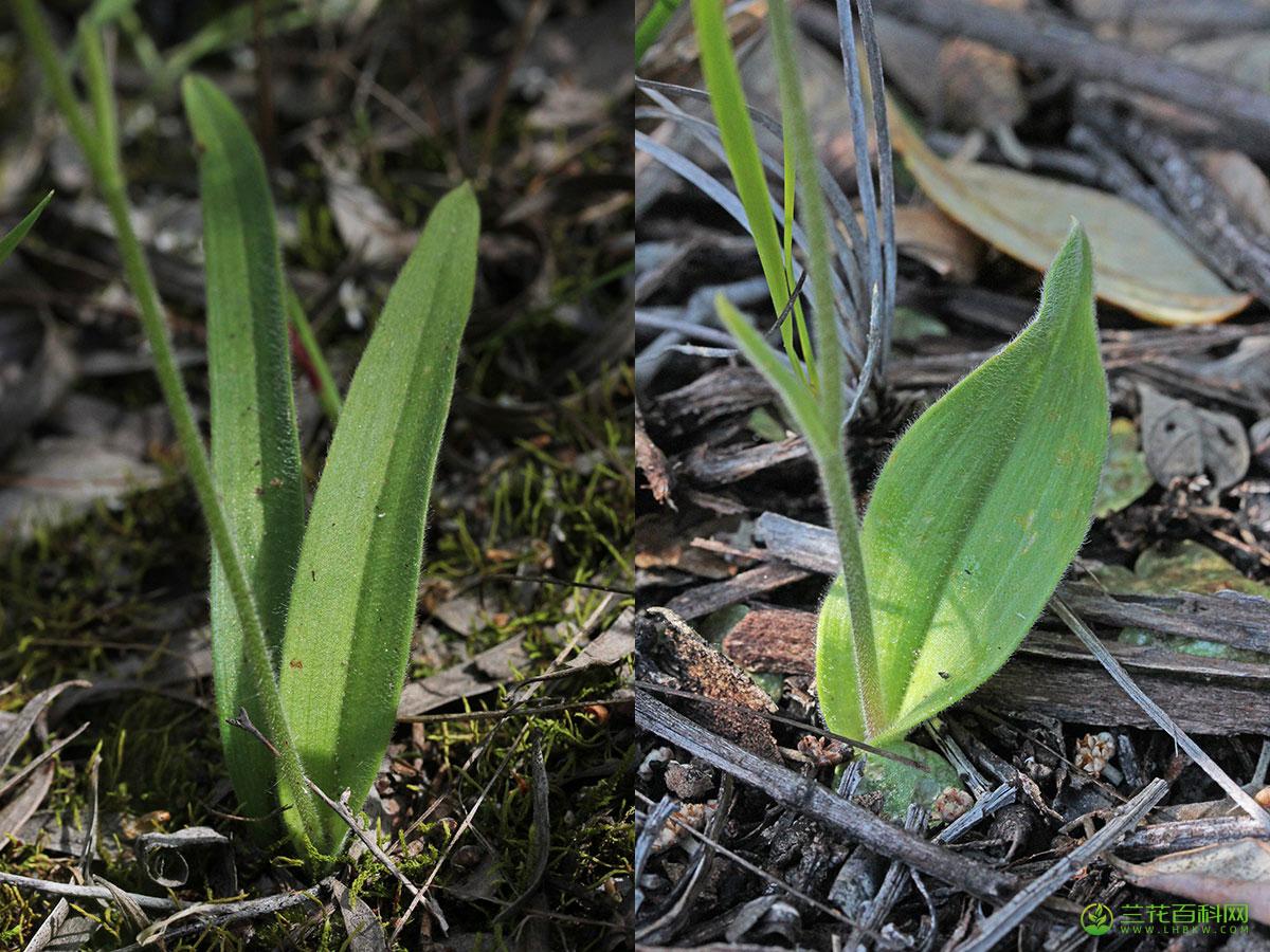 宽叶裂缘兰Caladenia latifolia