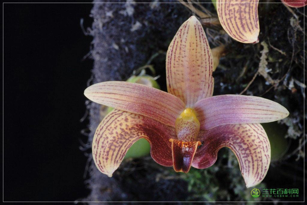 罗比石豆兰Bulbophyllum lobbii