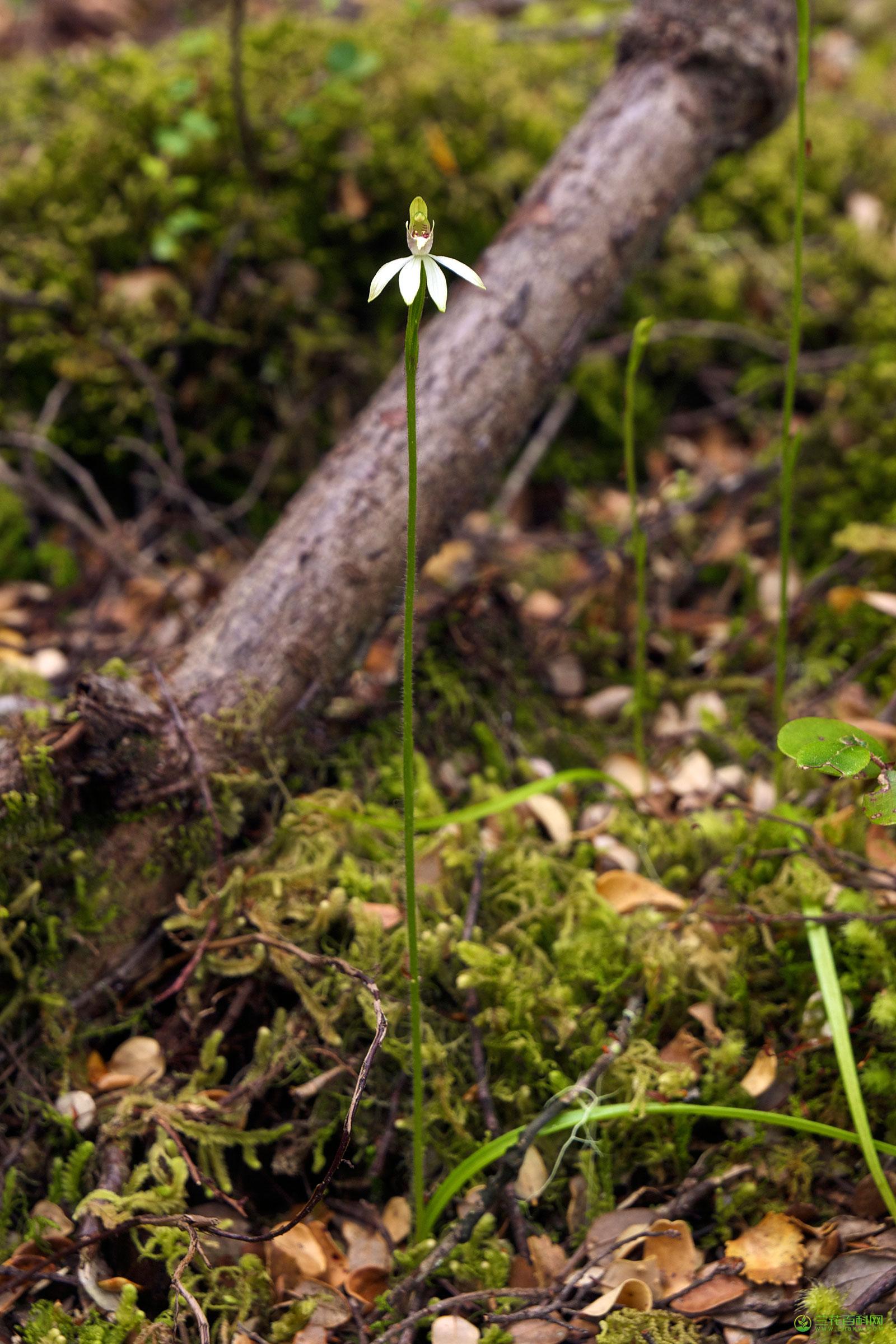 裂缘兰属Caladenia