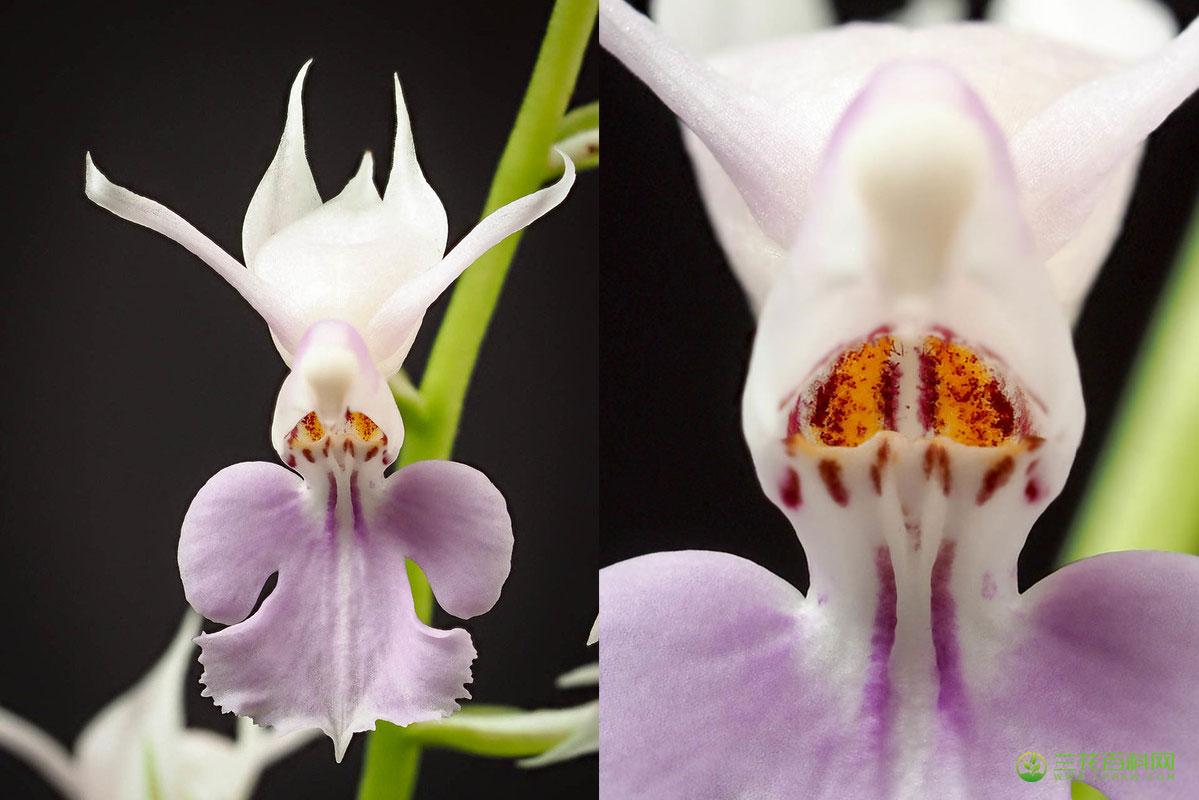 镰萼虾脊兰Calanthe puberula Lindl.