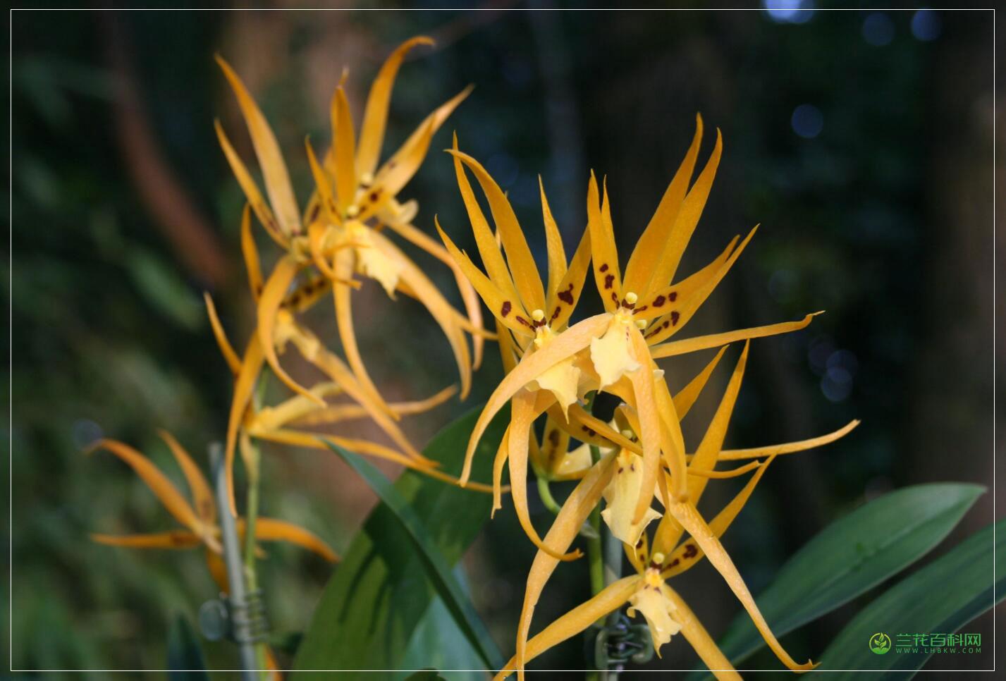 长萼兰属Brassia