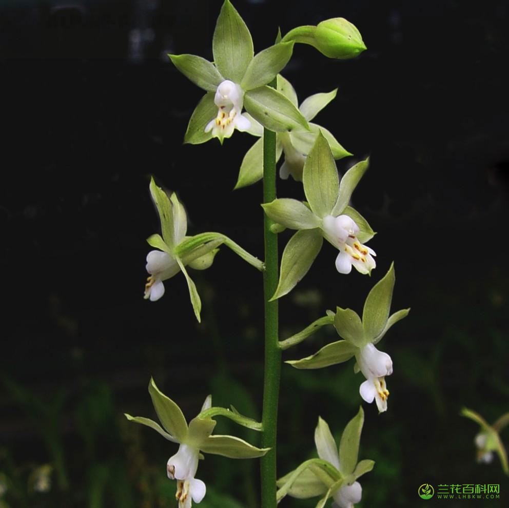 钩距虾脊兰Calanthe graciliflora Hayata