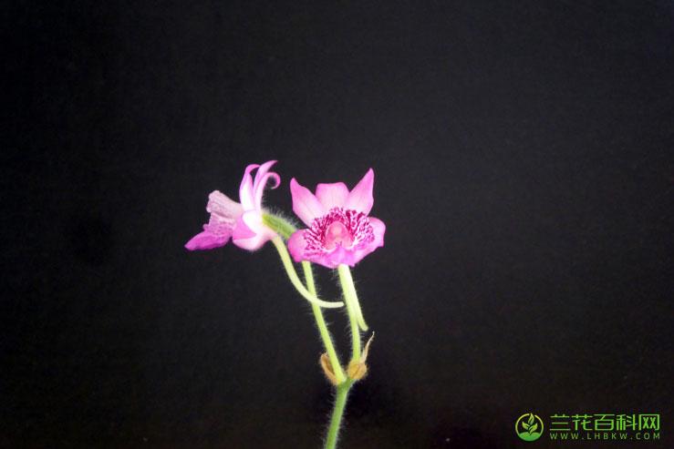 葫芦茎虾脊兰Calanthe labrosa (Rchb. f.) Rchb. f.