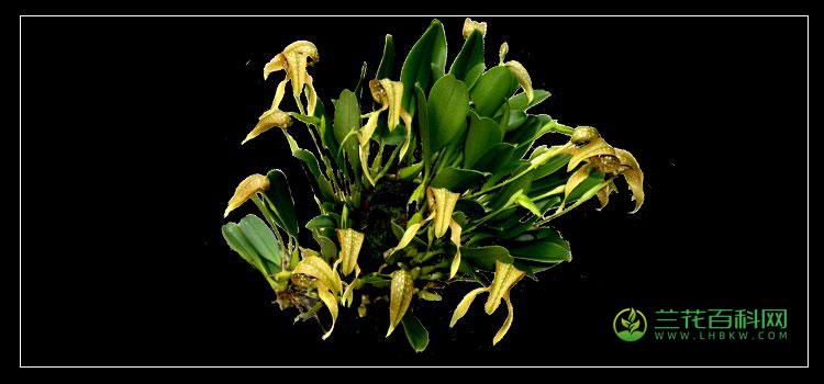 Bulbophyllum  burfordiense