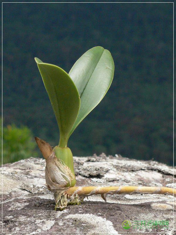 尖叶石豆兰Bulbophyllum cariniflorum