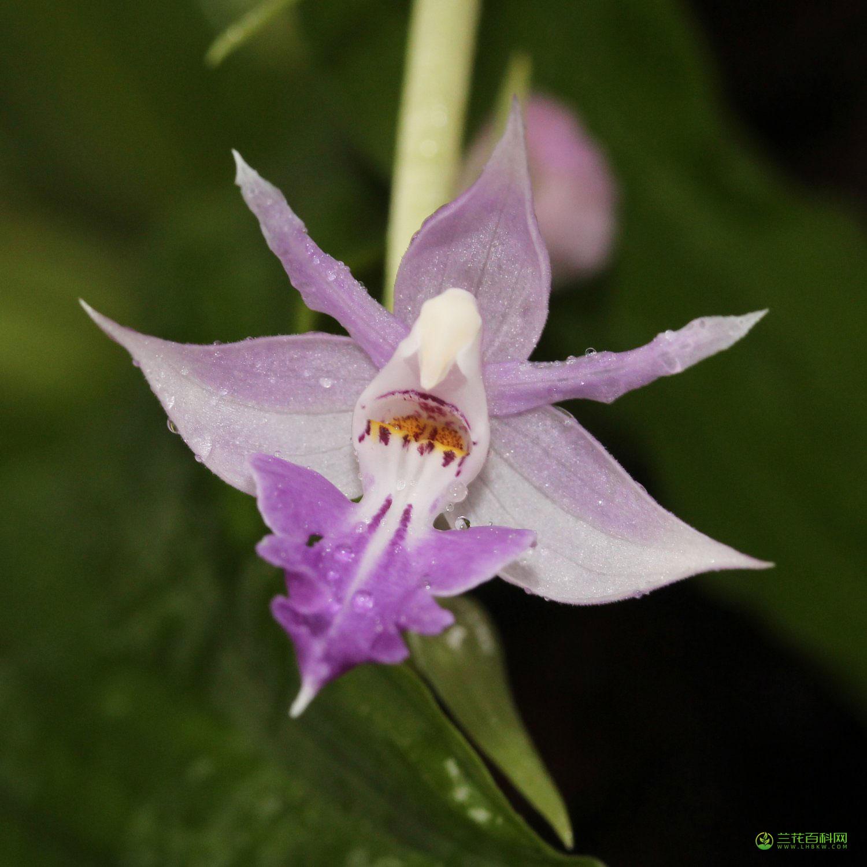 反瓣虾脊兰Calanthe reflexa (Kuntze) Maxim.