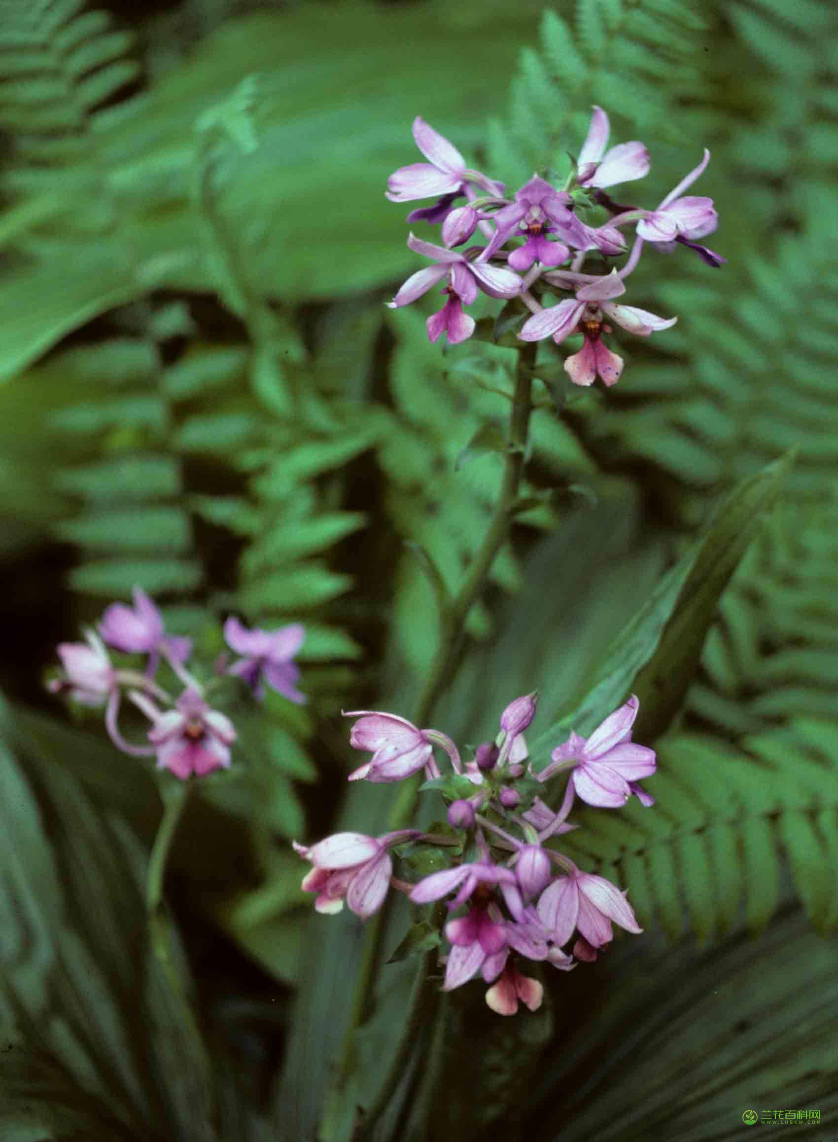 长距虾脊兰Calanthe sylvatica (Thou.) Lindl.
