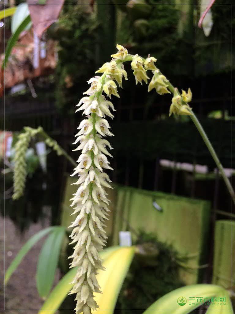 落叶石豆兰Bulbophyllum hirtum