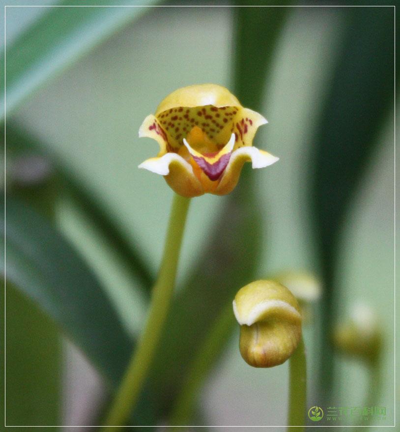 曲萼石豆兰Bulbophyllum pteroglossum