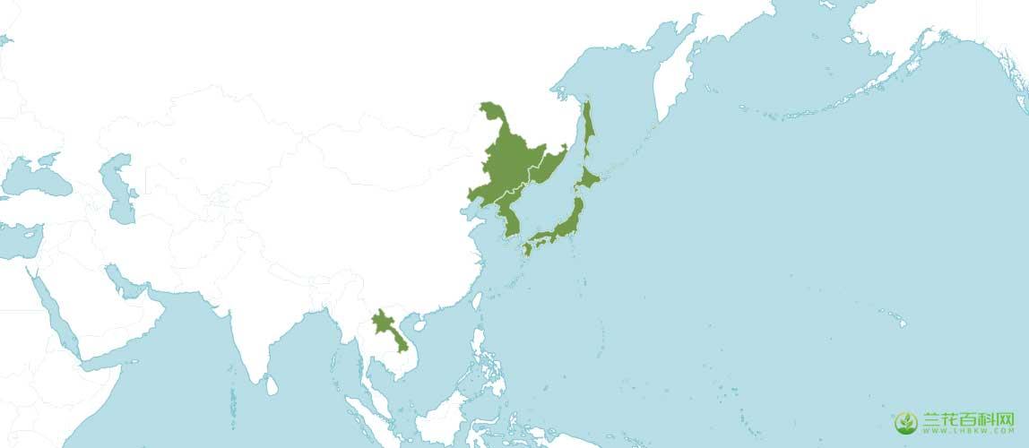 长苞头蕊兰Cephalanthera longibracteata图片及特征